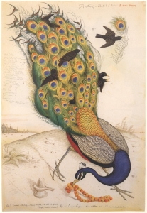 Avatars - The Birds of india n°1 , 1996 Walton Ford
